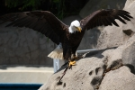 Bald Eagle / Weißkopfseeadler