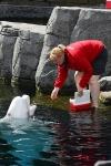 Ein Beluga-Wal bekommt einen Fisch