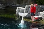 Die Schwanzflosse eines Beluga-Wals