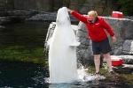 Ein Beluga-Wal ragt aus dem Wasser