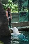 Ein Beluga-Wal spritzt eine Besucherin nass...
