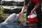 Ein Beluga-Wal mit einem Pfleger