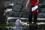 Ein letzter Fisch für den Beluga-Wal zum Abschied