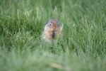 Ein Hörnchen im Gras