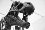 Skelett eines T-Rex im ROM (Royal Ontario Museum), Toronto