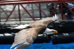 Ein American Eagle bei einer Show im Vancouver Aquarium