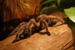 Eine große haarige Spinne
