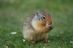 Ein Hörnchen frisst (1)