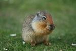 Ein Hörnchen frisst (2)